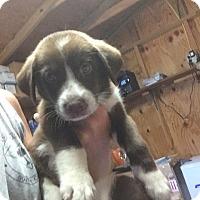 Adopt A Pet :: Clemson - Shelter Island, NY
