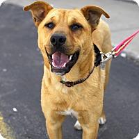 Adopt A Pet :: Cosima - Detroit, MI