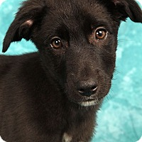 Adopt A Pet :: Laramie BC Lab - St. Louis, MO