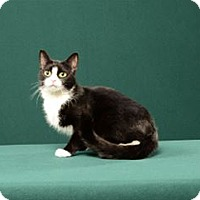 Adopt A Pet :: Panda (Kitten) - Cary, NC