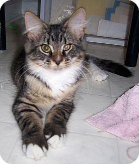 Manx Kitten for adoption in Liberty, North Carolina - Toffee