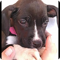 Adopt A Pet :: MissySue - Simi Valley, CA