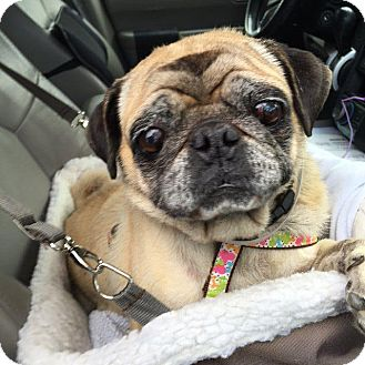 Pug Dog for adoption in Gardena, California - Scully