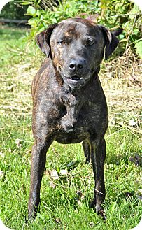 Pit Bull Terrier/Labrador Retriever Mix Dog for adoption in Michigan City, Indiana - Marko