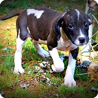 Border Collie/Boxer Mix Puppy for adoption in Glastonbury, Connecticut - Strudel~meet me~