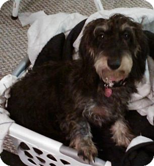 Dachshund Dog for adoption in Humble, Texas - Dixie
