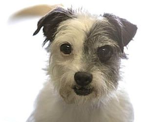 Terrier (Unknown Type, Small) Mix Dog for adoption in Colorado Springs, Colorado - Brady