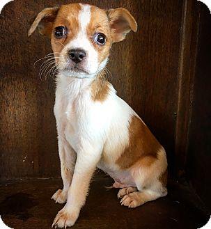 Rat Terrier Mix Puppy for adoption in Fredericksburg, Texas - Barley
