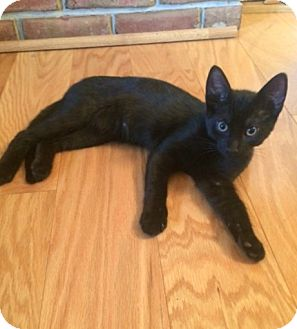 Domestic Shorthair Kitten for adoption in Carlisle, Pennsylvania - Inka