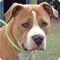 Adopt A Pet :: Noble - Walnut Creek, CA