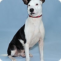 Adopt A Pet :: Pinto - Gatineau, QC