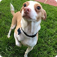 Chihuahua Mix Dog for adoption in Fountain Valley, California - Reece