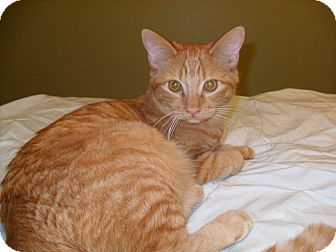 Domestic Shorthair Cat for adoption in Phoenix, Arizona - Twinsby
