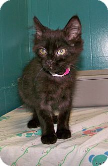 Domestic Mediumhair Kitten for adoption in Dover, Ohio - Maggie