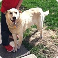 Adopt A Pet :: Maxwell Gregory - Oak Brook, IL
