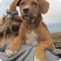 Adopt A Pet :: Biscuit - Medora, IN