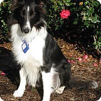 Adopt A Pet :: Roxanne - Charlottesville, VA