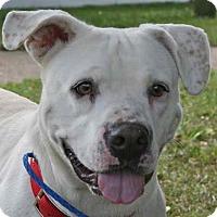 American Bulldog Mix Dog for adoption in Blountstown, Florida - Stella