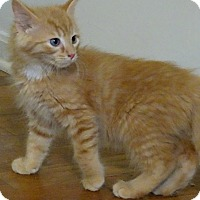 Adopt A Pet :: The Oranges--Sunkist - Florence, KY