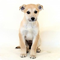 Adopt A Pet :: Carlie - Needs Foster - Bloomington, MN