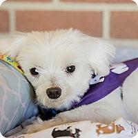 Adopt A Pet :: Chuckie - Durham, NC