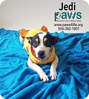 Rat Terrier Mix Dog for adoption in Belle Chasse, Louisiana - Jedi
