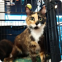 Domestic Shorthair Cat for adoption in Exton, Pennsylvania - Clara (Foster)