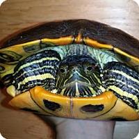 Turtle - Other for adoption in Markham, Ontario - Alia