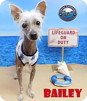 Chinese Crested Dog for adoption in Arcadia, Florida - Bailey