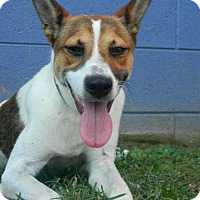 Jack Russell Terrier Dog for adoption in Randleman, North Carolina - Ball