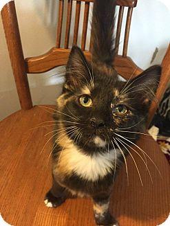 Domestic Mediumhair Kitten for adoption in Davison, Michigan - Nina