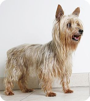 Silky Terrier Dog for adoption in Edina, Minnesota - Lexi D161034