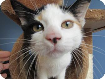 Domestic Shorthair Kitten for adoption in Northfield, Minnesota - Tiana