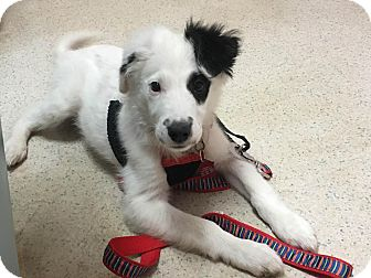 Border Collie Mix Dog for adoption in North Wilkesboro, North Carolina - Finn