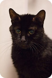 Domestic Shorthair Cat for adoption in Grayslake, Illinois - Nozy