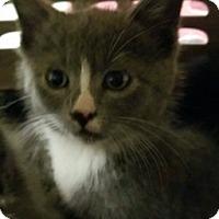 Domestic Shorthair Kitten for adoption in Joplin, Missouri - Luca 110548