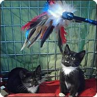 Adopt A Pet :: Sasha - Oakland Gardens, NY