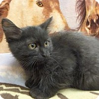 Domestic Mediumhair Kitten for adoption in Apple Valley, California - Raven #168177