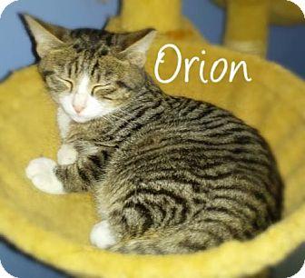 Domestic Shorthair Kitten for adoption in York, Pennsylvania - Orion