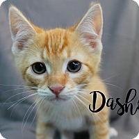 Adopt A Pet :: Dasher - Wichita Falls, TX