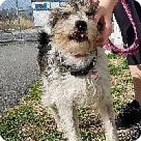 Adopt A Pet :: Ironman - Queenstown, MD