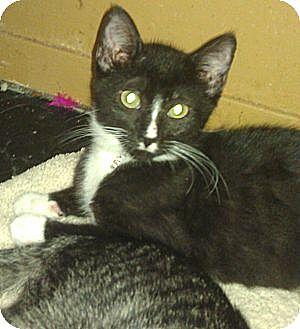 American Shorthair Kitten for adoption in Medford, New York - Sam