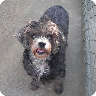 Poodle (Miniature)/Maltese Mix Dog for adoption in Richmond, Virginia - Diamond