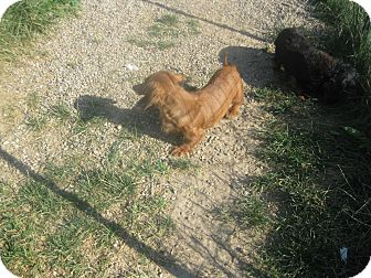 Dachshund Dog for adoption in Prole, Iowa - Jessica