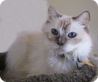 Himalayan Cat for adoption in Gilbert, Arizona - 313
