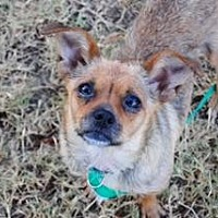 Chihuahua/Pug Mix Dog for adoption in Bedford, Texas - Stella