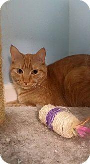 Domestic Shorthair Cat for adoption in Lake Villa, Illinois - Cheddar