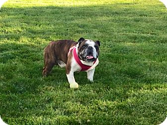 english bulldog rescue ohio english bulldog dog for adoption in columbus ohio brutus 3537
