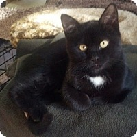 Domestic Shorthair Cat for adoption in Fremont, California - Noah