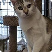 Domestic Shorthair Cat for adoption in Massapequa, New York - Missy